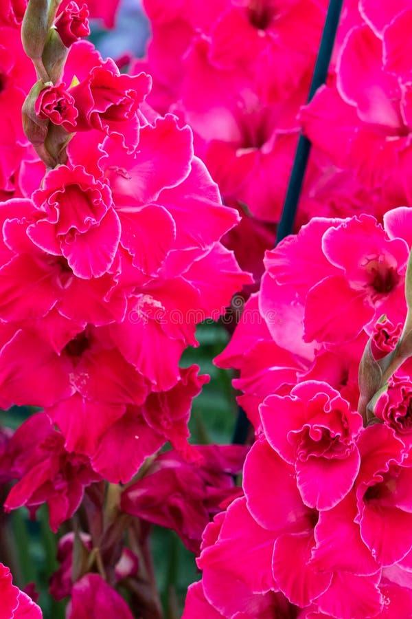 Gladiolus Fairytale pink stock image