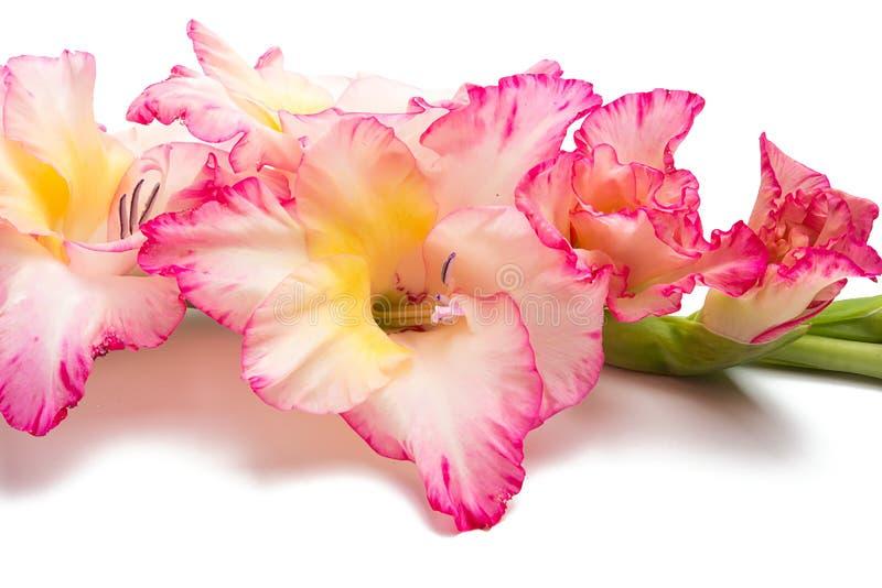 gladiolus flower isolated stock photos