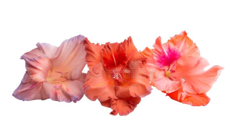 Gladiolus flower isolated royalty free stock images