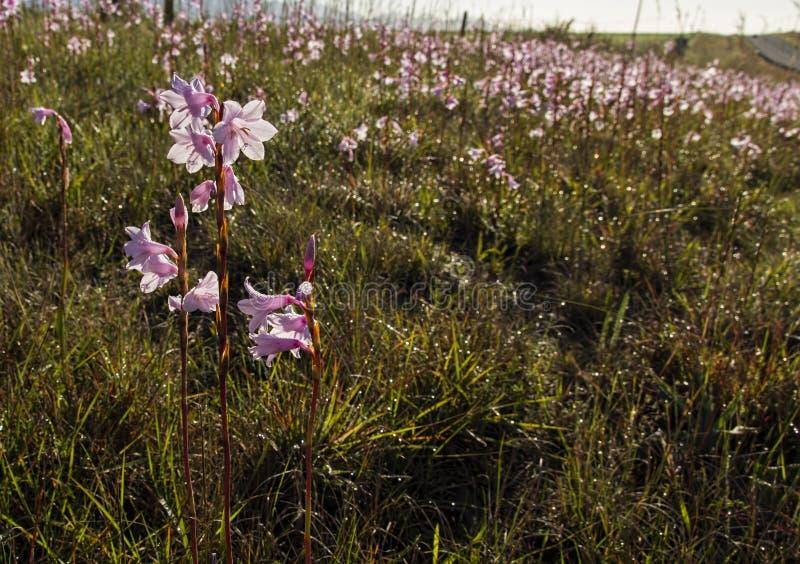 Gladiolus Iridaceae royalty free stock photo