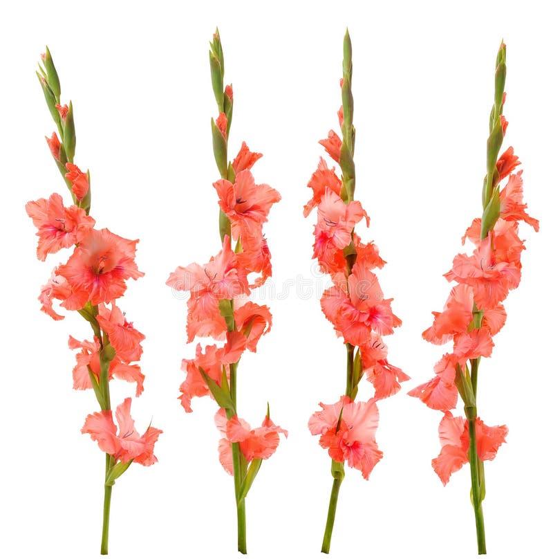 gladiolus menchie zdjęcie stock