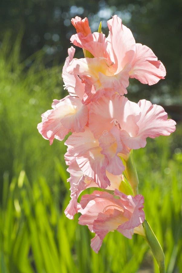 gladiolus menchie obrazy stock