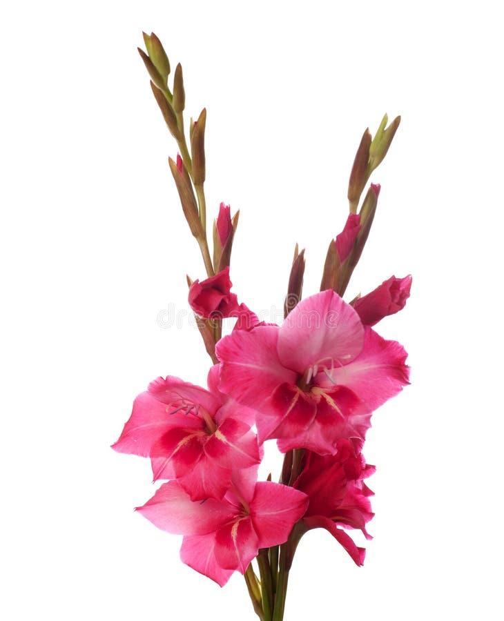 gladiolus menchie zdjęcia royalty free