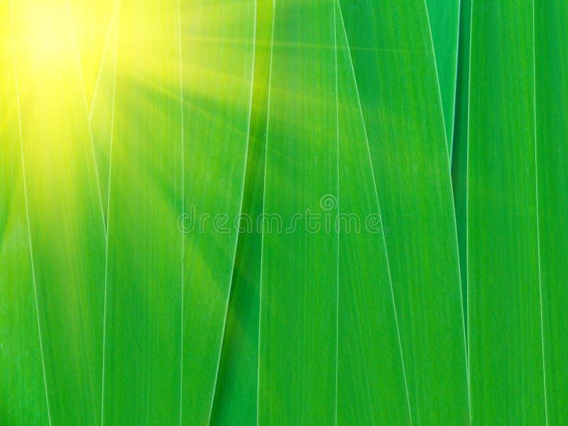 gladiolus opuszczać lekką łatę słoneczny fotografia stock