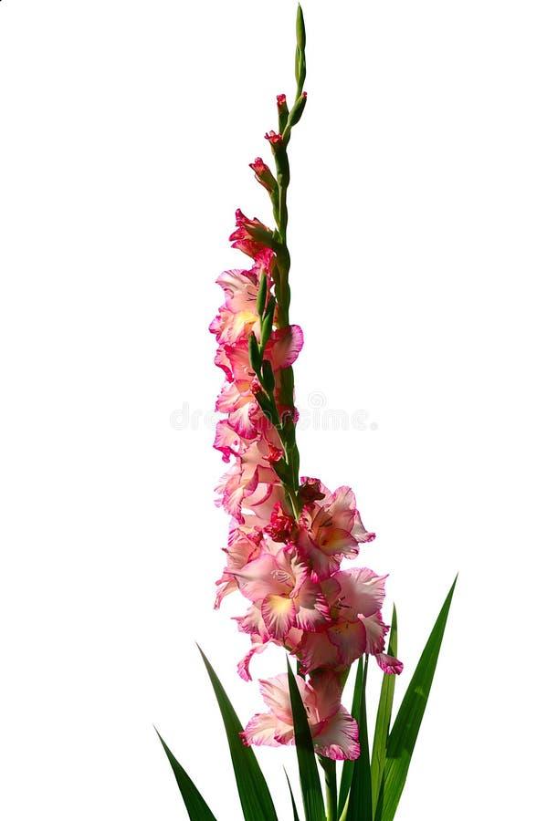 gladiolus różowy obrazy stock