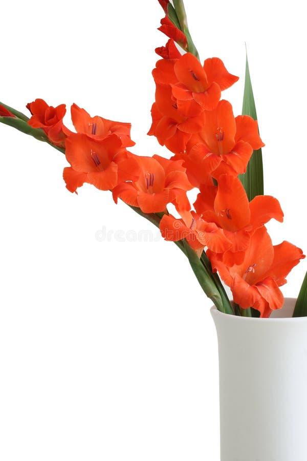 Gladiolus rosso fotografie stock libere da diritti
