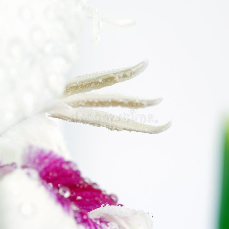 Gladiolus Stamens Royalty Free Stock Photos