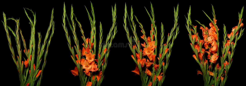 Gladiolusa upływu serie obrazy royalty free