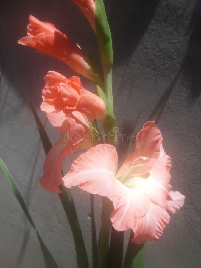 Gladiolusen steg fotografering för bildbyråer