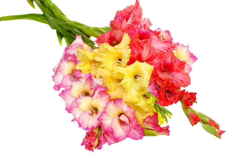 gladioluses wiązek zdjęcie royalty free
