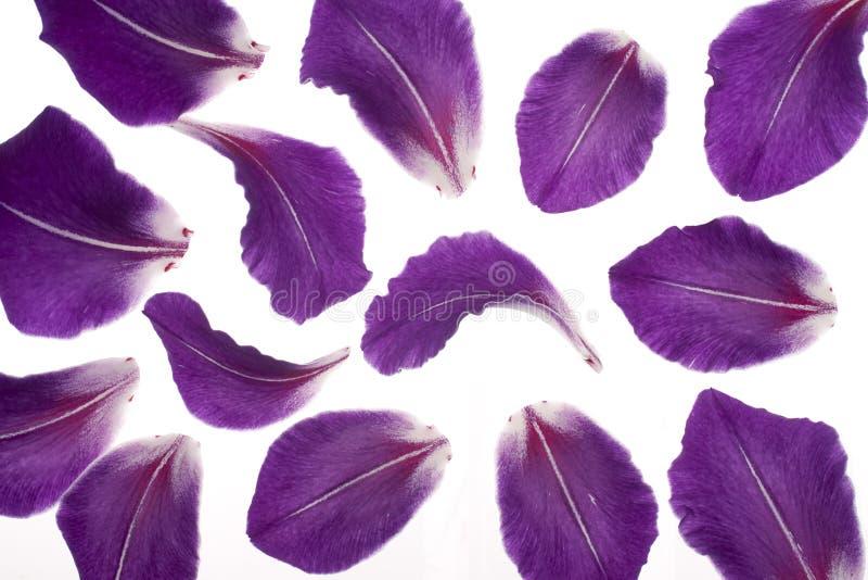 gladioluspetals arkivfoton