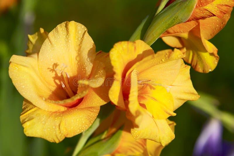 gladiolusyellow royaltyfria foton
