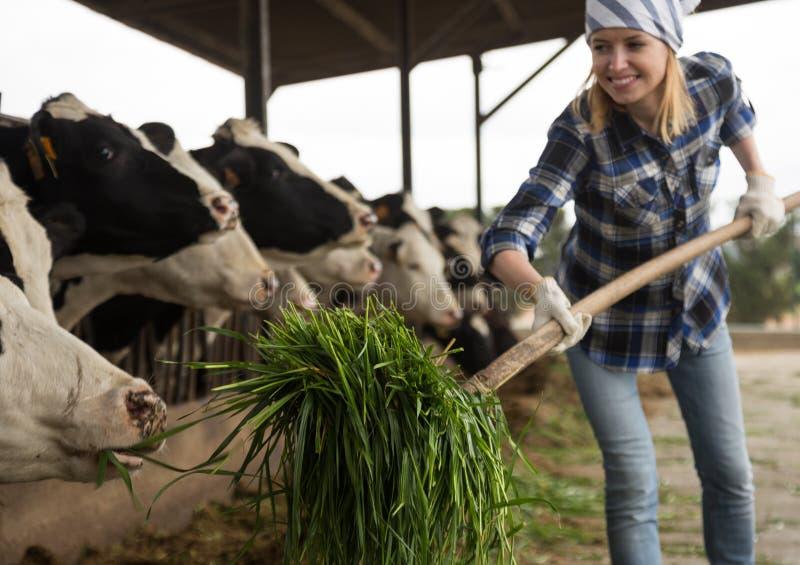 Gladlynt cowgirl som arbetar med att mjölka flocken på cowhousen i lantgård arkivbild
