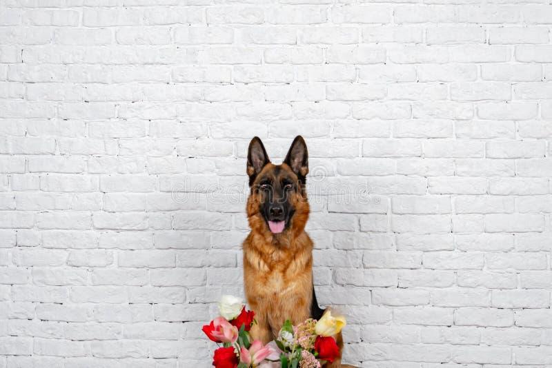 Gladlynt framfusig hund på en tegelstenbakgrund Tysk herde med en bukett av blommor royaltyfria bilder
