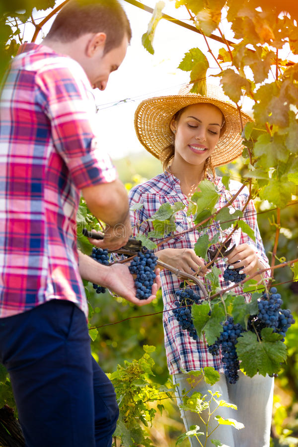 Gladlynta par i en vingård arkivbilder