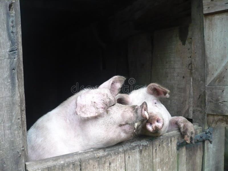 Gladlynta svin i en svinstia arkivfoto