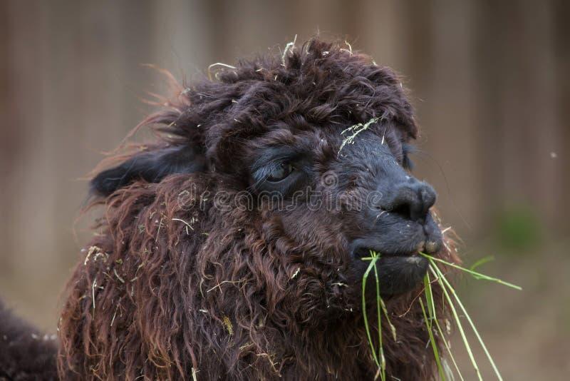 Download Glama лама ламы стоковое изображение. изображение насчитывающей одомашнивано - 81810325