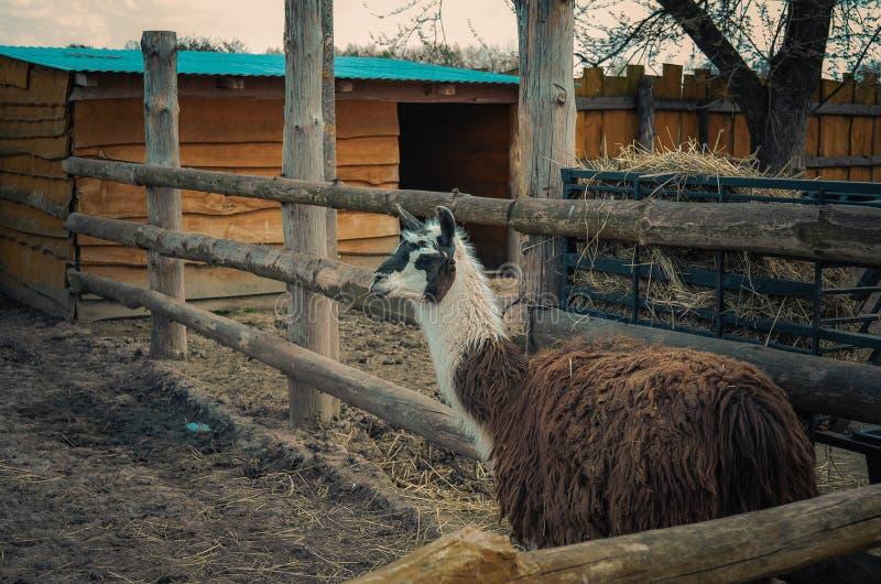 Glama лама смотря камеру стоковая фотография rf