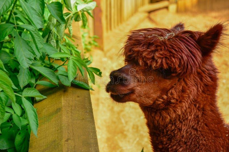 Glama das Gesicht des roten Lamas an der Weide lizenzfreie stockfotografie