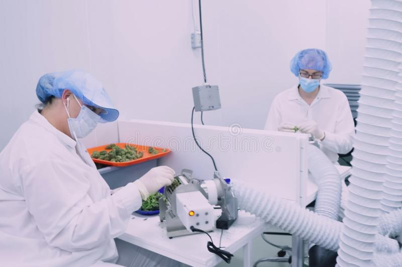 Laboratory for quality control of grown cannabis for medical purposes. Picking marijuana. Glamis, USA - August 24, 2018: Laboratory for quality control of grown stock photo