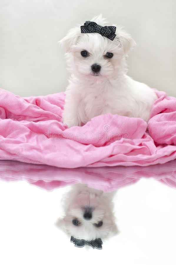 Glamour maltese puppy stock photography