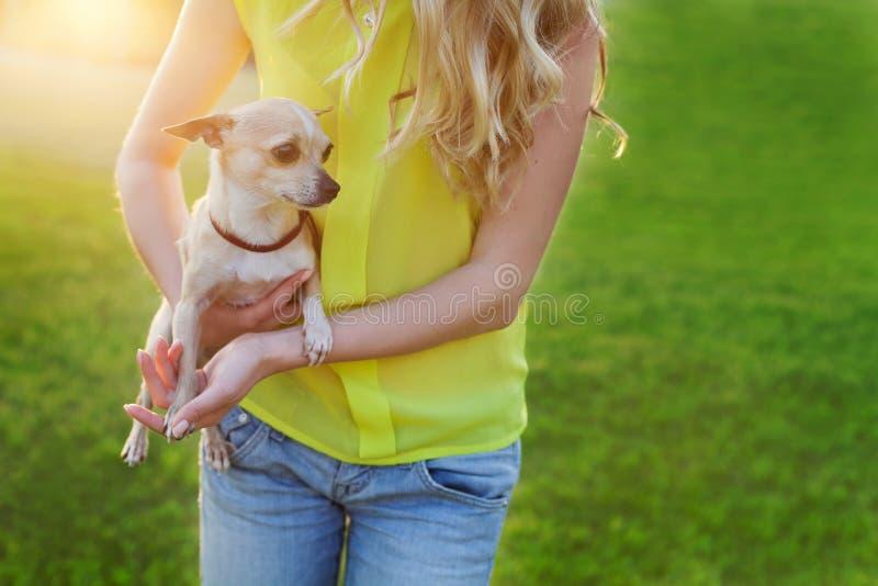 Glamourmeisje of vrouw die de leuke hond van het chihuahuapuppy op groen gazon op de zonsondergang houden stock fotografie