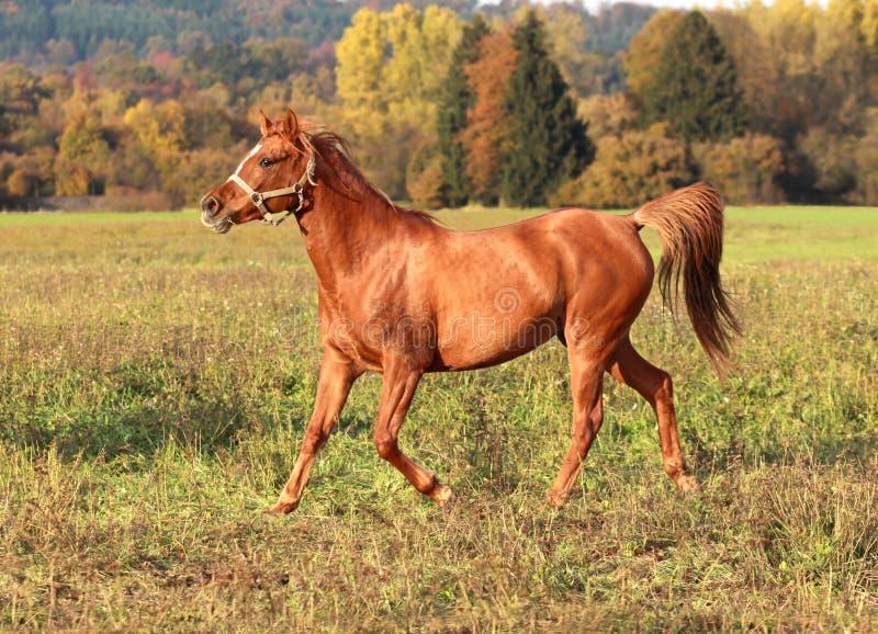 Download Glamourous Arabian mare stock image. Image of grey, fashion - 17548719