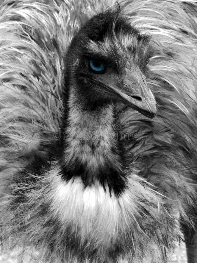 Download Black And White Emu Portrait With Blue Eye Stock Photography - Image: 613442