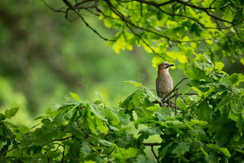 Glandarius del Garrulus La naturaleza salvaje de la República Checa Naturaleza libre Imagen de un pájaro en naturaleza Cuadro her imagen de archivo
