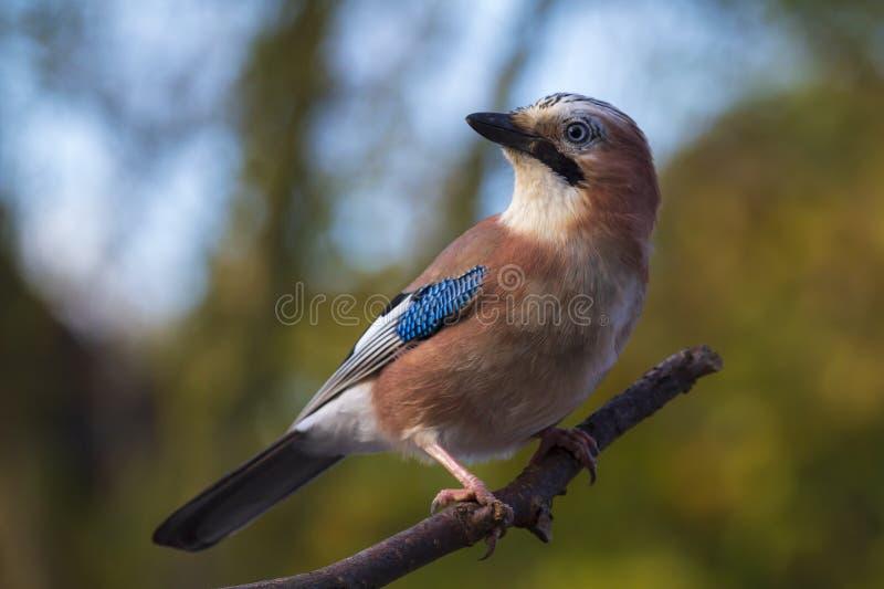 Glandarius eurasien de Garrulus d'oiseau de geai ?t? perch? sur une branche, couleurs d'automne images libres de droits