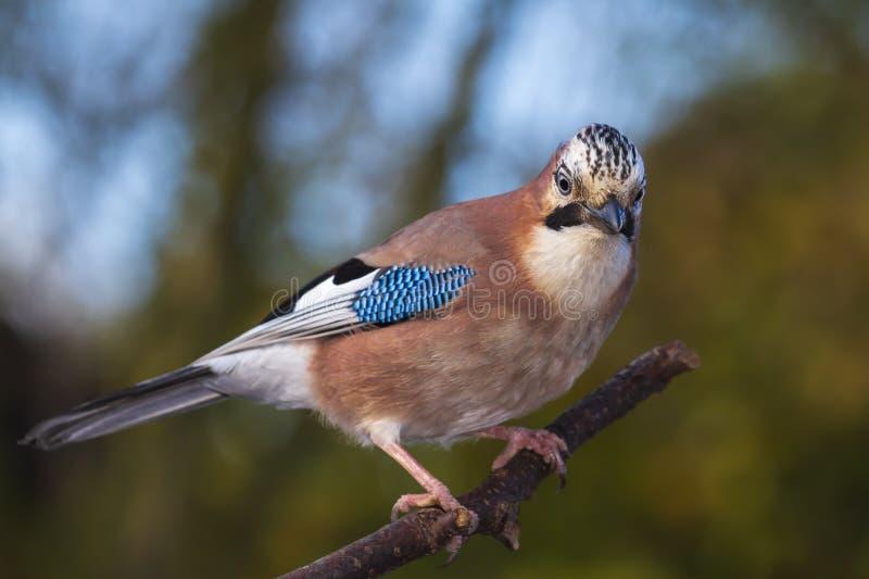 Glandarius eurasien de Garrulus d'oiseau de geai ?t? perch? sur une branche, couleurs d'automne photos libres de droits