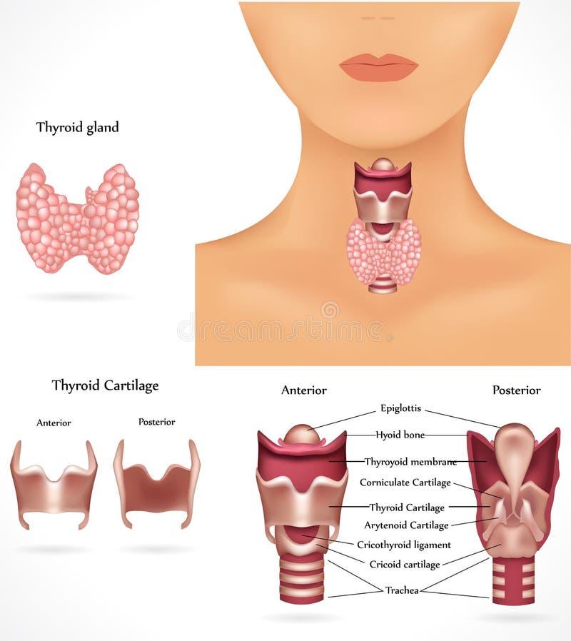 Glande thyroïde illustration stock
