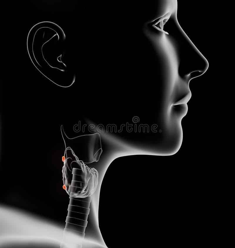 Glande thyroïde d'une femme avec la parathyroïde accentuée, médicalement illustration 3D sur le fond noir illustration de vecteur