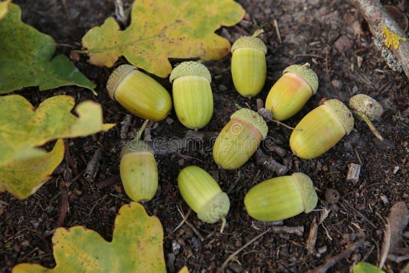 Glands et feuilles en bois de chêne photo libre de droits