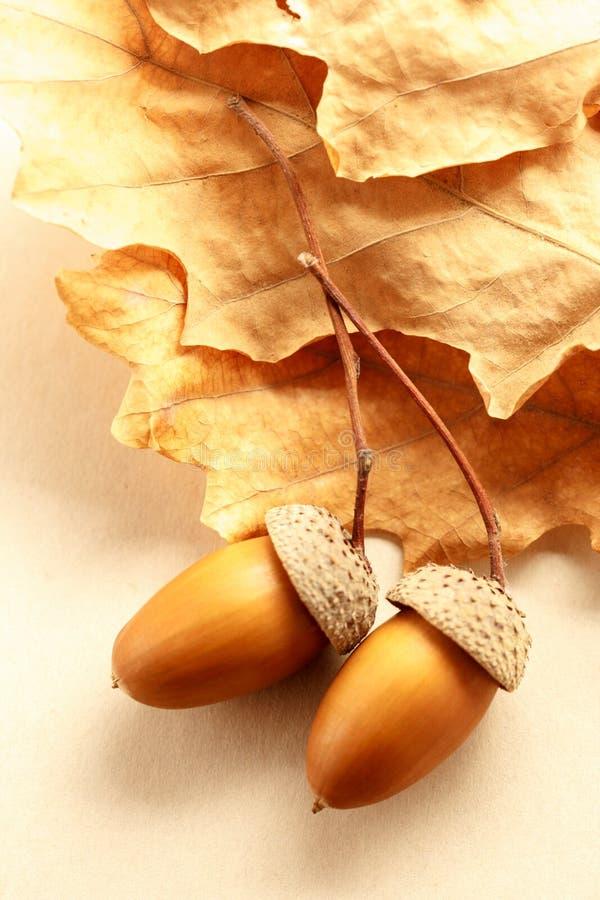 Glands frais avec les feuilles sèches photo stock