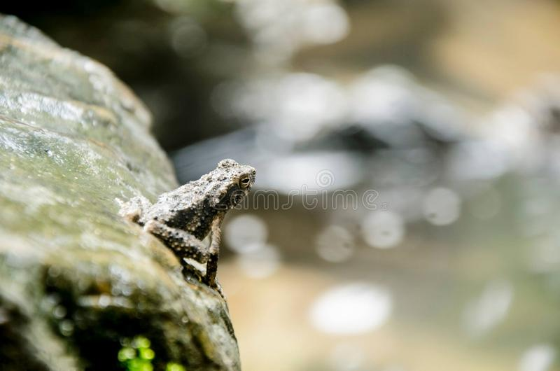 Glandular frog. It is a frog or a medium sized frog. Head is large The nose is round, not protruding long. The membrane is large. And clearly. Toes and legs in stock photo