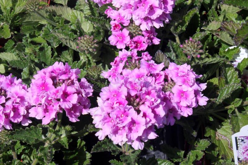 Glandulariaperuviana 'Balendpibi ', Roze tweekleurig van Endurascape royalty-vrije stock afbeelding