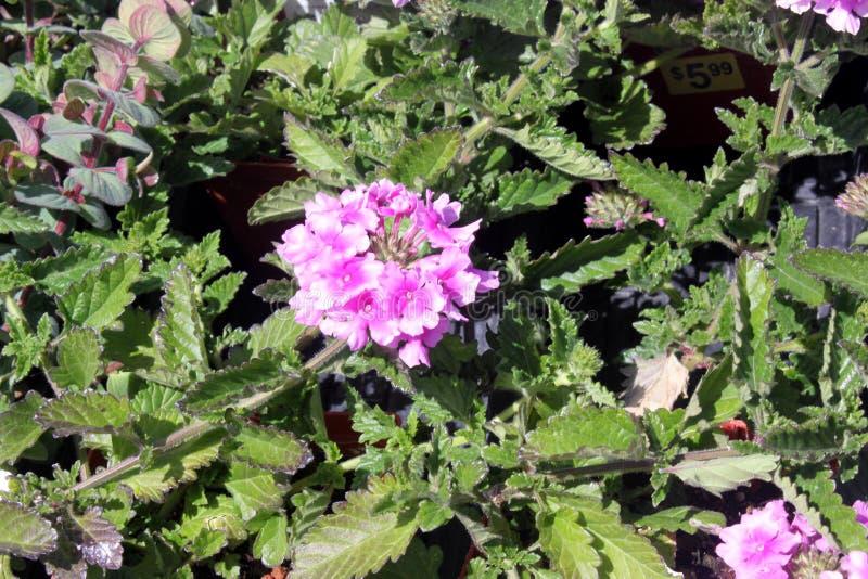 Glandulariaperuviana 'Balendpibi ', Roze tweekleurig van Endurascape stock foto