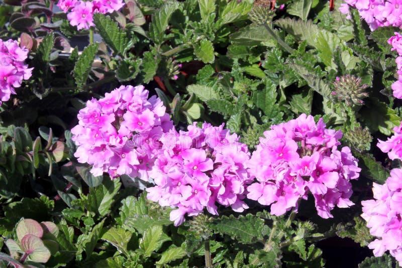 Glandulariaperuviana 'Balendpibi ', Roze tweekleurig van Endurascape stock afbeelding