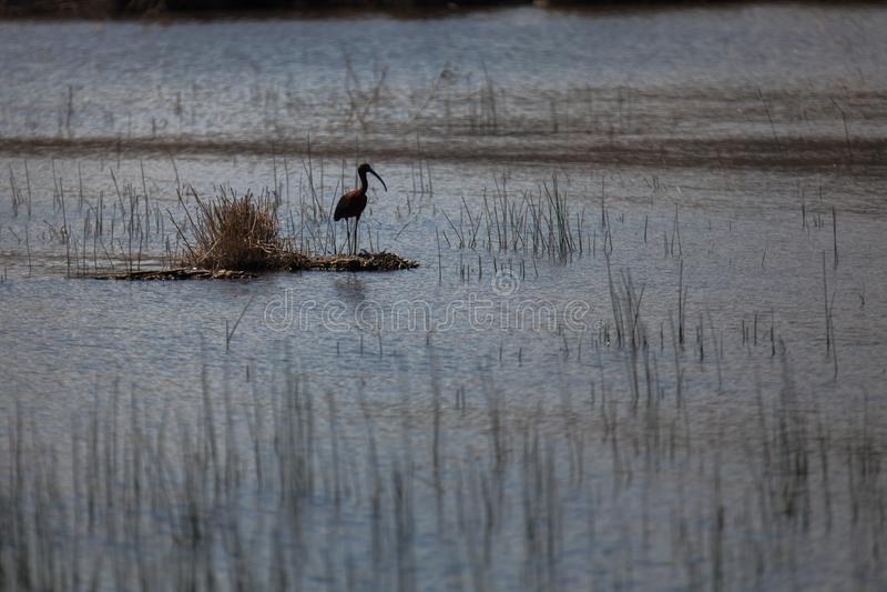Glansig ibis i sjön fotografering för bildbyråer