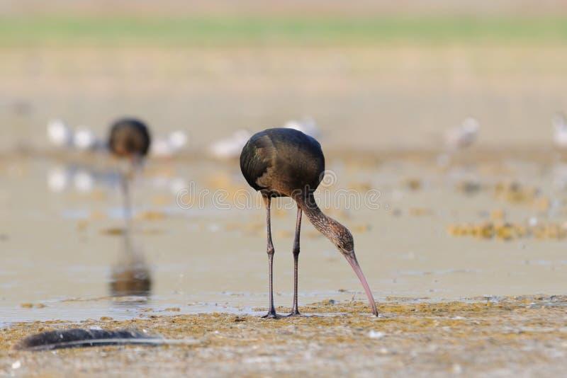 Glansig ibis sjökust royaltyfria bilder