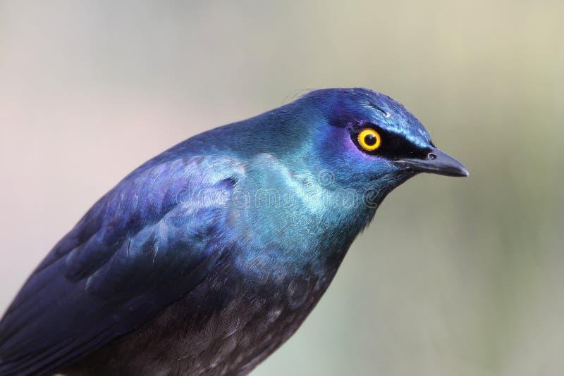 glansig stare för fågel royaltyfria bilder