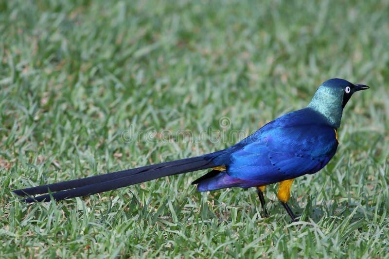 glansig stare för fågel royaltyfri bild