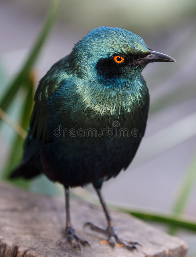 glansig stare för fågel royaltyfria foton