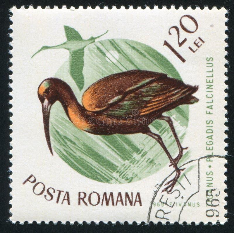 glansiga ibis arkivfoton