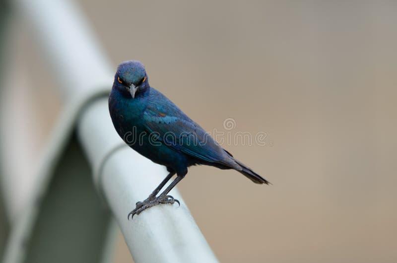 Glansowanego szpaczka Południowa Afryka ptasi gapić się fotografia stock