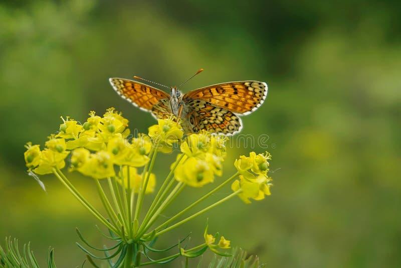 Glanville在赛普里斯spurge的贝母蝴蝶 免版税库存照片