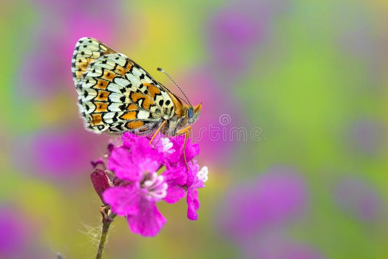 Glanville贝母蝴蝶Melitaea cinxia在捷克 库存图片
