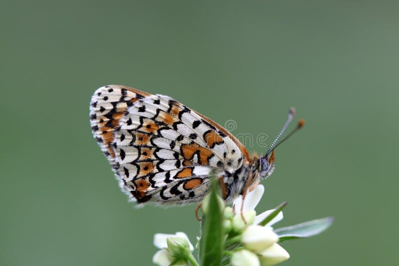 Glanville贝母蝴蝶 库存图片