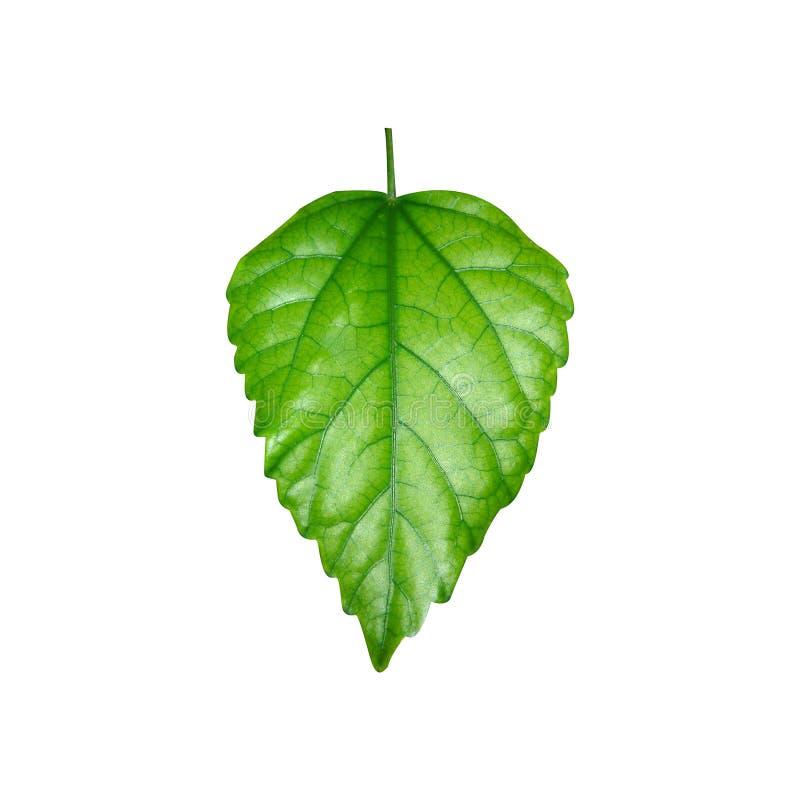 Glanzend groen blad stock foto
